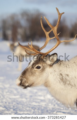 Portrait of a reindeer in natural environment,Tromso,Northern Norway - stock photo
