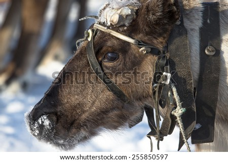 Portrait of a reindeer. Sharpness on eyes - stock photo