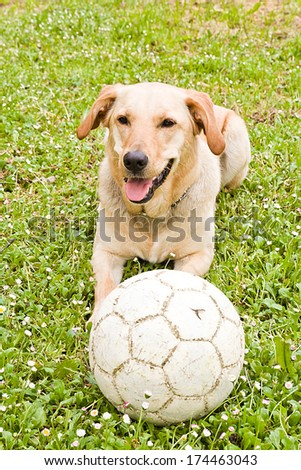 Portrait of a Retriever dog with a ball in vertical format. - stock photo