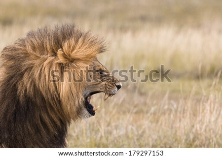 Portrait of a roaring male lion - stock photo