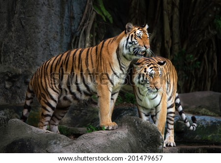 Portrait of a Royal Bengal tiger  - stock photo