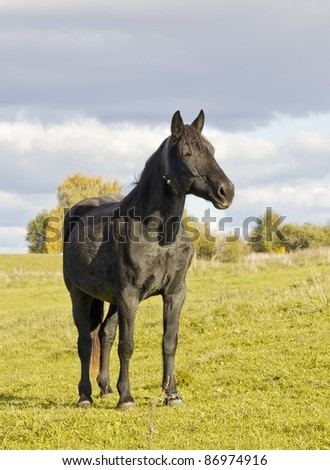 Portrait of a sad black  old horse against an autumn sunny yellow landscape. Selective focus - stock photo