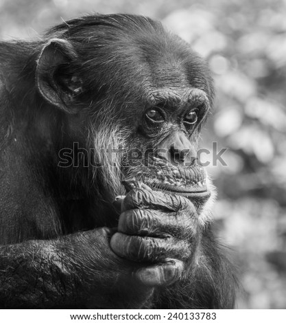 Portrait of a sad chimpanzee sitting on a tree in captivity, thinking about his life - stock photo