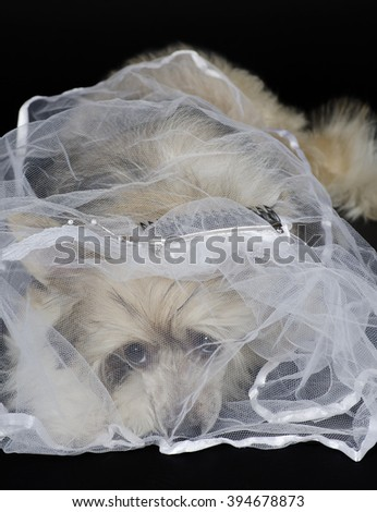 Portrait of a sad Chinese Crested dog (Powderpuff variety) wearing a bridal veil, isolated on black - stock photo
