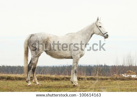 Portrait of a senior hannover mare - stock photo