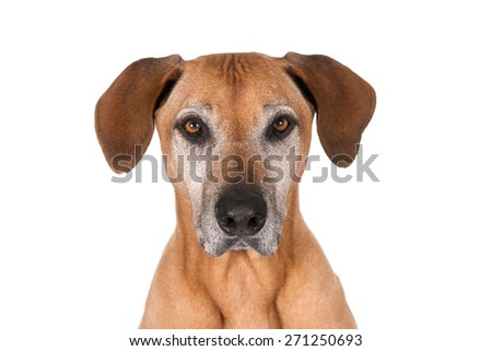 Portrait of a senior Rhodesian Ridgeback dog, looking at camera and isolated on white - stock photo
