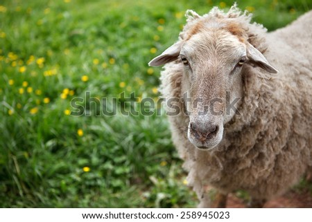 Portrait of a Sheep grazing on the meadow - stock photo
