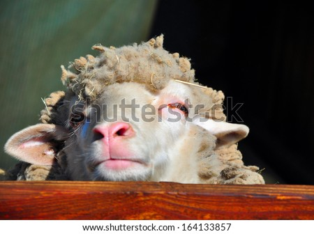 Portrait of a Sheep in Closed Space on a Farm - stock photo