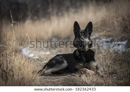 Portrait of a shepherd dog laying on dry grass looking straight - stock photo
