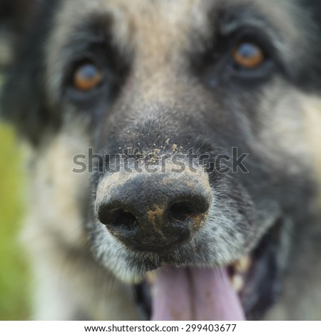 Portrait of a shepherd dog with a tilted head and serious gaze, focus on the dirty snout, outdoor square shot - stock photo