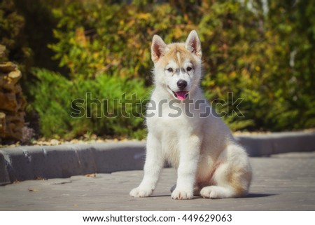 Portrait of a Siberian Husky puppy walking in the yard. One Little cute puppy of Siberian husky dog outdoors - stock photo