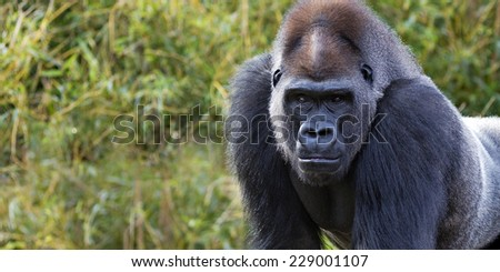 portrait of a silver back gorilla with room for text - stock photo