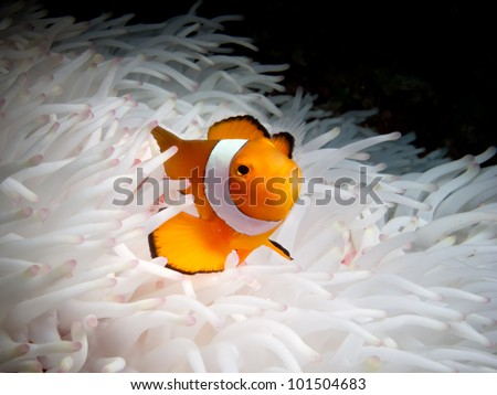 Portrait of a single anemone fish nestled in white anemone in Sipadan, Borneo. - stock photo