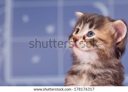 Portrait of a smiling siberian kitten over light-blue background - stock photo