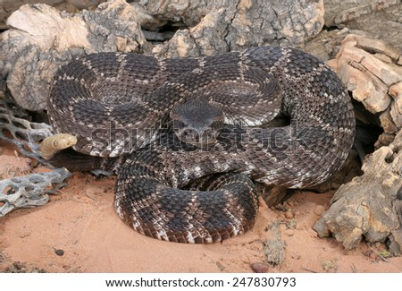 Portrait of a Southern Pacific Rattlesnake. - stock photo