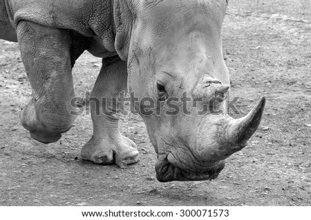 Portrait of a Southern White Rhinoceros walks (BW) critically endangered. - stock photo