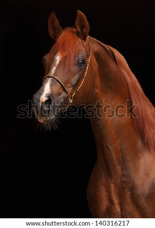 Portrait of a splendid purebred Arabian stallion against a black background - stock photo