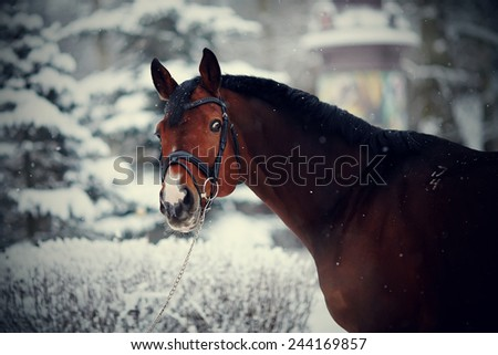 Portrait of a sports stallion. Thoroughbred horse. Beautiful horse. - stock photo
