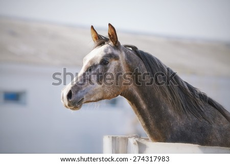 Portrait of a sports thoroughbred stallion behind a protection. - stock photo