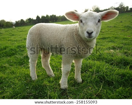 Portrait of a Spring Lamb in a Green Field - stock photo