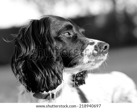 Portrait of a Springer Spaniel dog basking in the sun light sniffing the breeze - stock photo