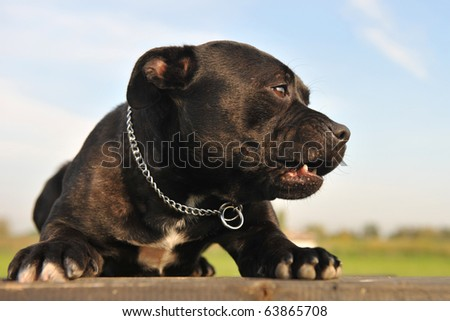 portrait of a staffordshire bull terrier angry and laid down - stock photo