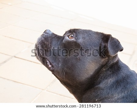 Portrait of a Staffordshire bull Terrier dog, profile of his head, looking up with mouth shut. - stock photo
