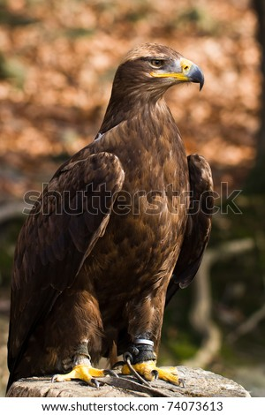 Portrait of a steppe eagle - stock photo