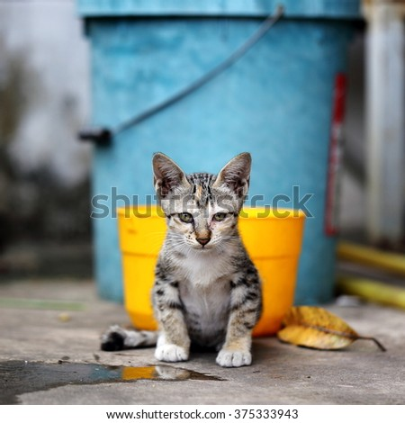 Portrait of A Stray Kitten in Rural Countryside / Village in South East Asia - stock photo