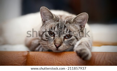 Portrait of a striped blue-eyed cat. Striped cat. Striped not purebred kitten. Small predator. Small cat. - stock photo