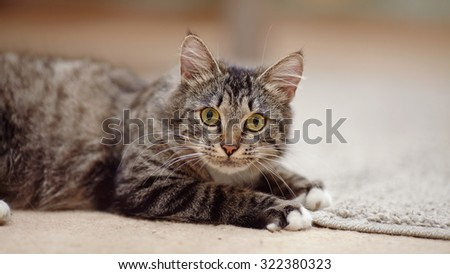 Portrait of a striped domestic cat with yellow eyes - stock photo