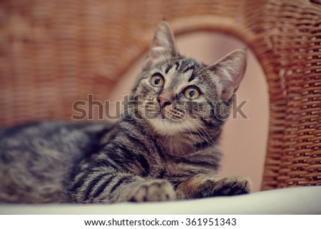 Portrait of a striped domestic kitten with yellow eyes on a wicker chair - stock photo