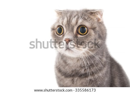 Portrait of a surprised cat breed Scottish Fold. Studio photography on a white background. - stock photo