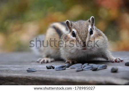 Portrait of a surprised chipmunk sitting on a bench with seeds. - stock photo