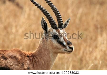 Portrait of a Thomson'??s Gazelle (Eudorcas Thomsonii), Serengeti, Tanzania - stock photo