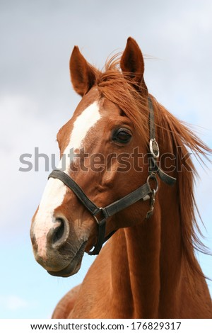 Portrait of a thoroughbred chestnut  stallion - stock photo