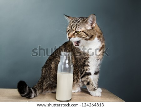 Portrait of a three-colored european house cat with milk in bottle - stock photo