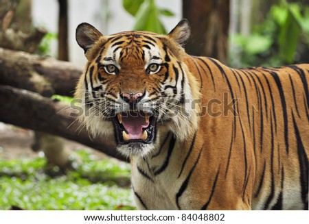 portrait of a tiger's face with bare teeth of Malayan Tiger - stock photo