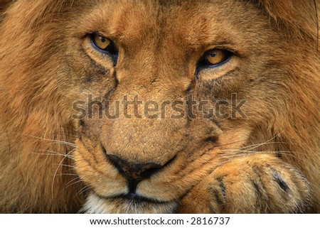 Portrait of a tired lion - stock photo
