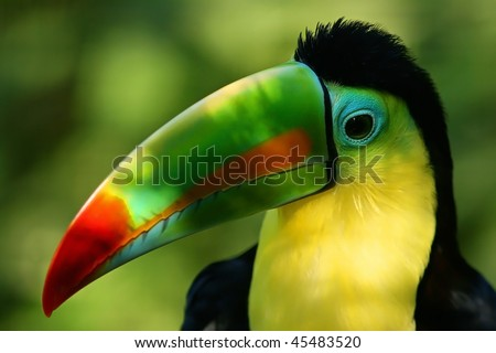 Portrait of a Toucan and its colorful beak - stock photo