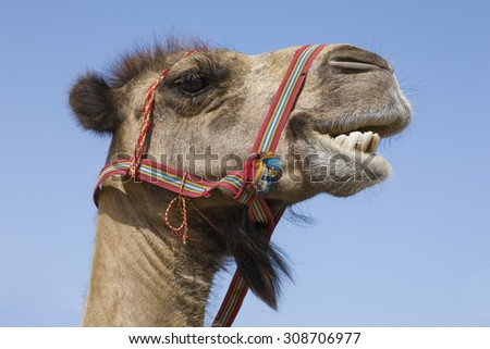 Portrait of a traditional transport camel with red bridle captured on a sunny day - stock photo