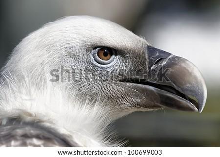 Portrait of a vulture - stock photo
