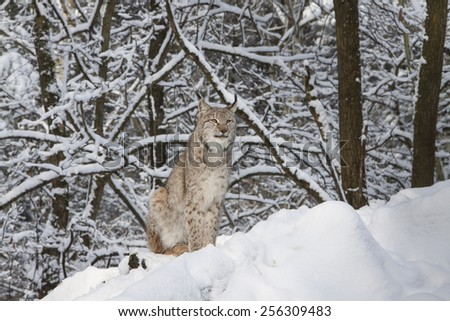 portrait of a watchful  lynx sitting in the snow of a winter forest - stock photo