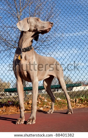 Portrait of a weimaraner in the park - stock photo
