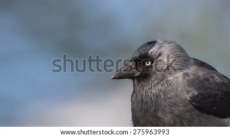 Portrait of a western jackdaw in the sun with space for text - stock photo
