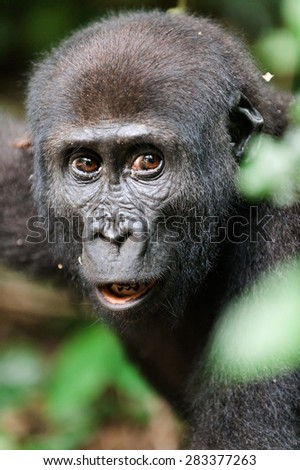 Portrait of a western lowland gorilla (Gorilla gorilla gorilla) close up at a short distance. Africa. Congo - stock photo