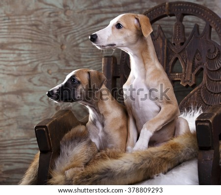 Portrait of a whippet puppies - stock photo