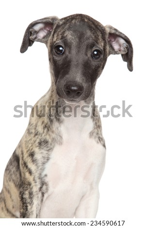 Portrait of a Whippet puppy on isolated white background - stock photo