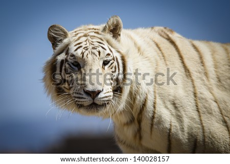 Portrait of a White bengal tiger - stock photo