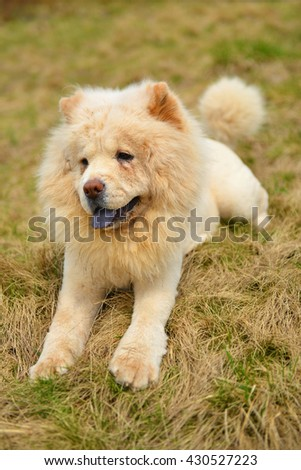 Portrait of a white  chow chow - stock photo